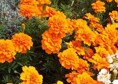 線虫 センチュウ 駆除に土壌消毒とマリーゴールド 防除と対策方法 施設園芸 Com