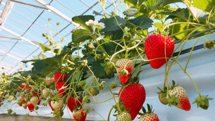 イチゴ の 栽培 方法