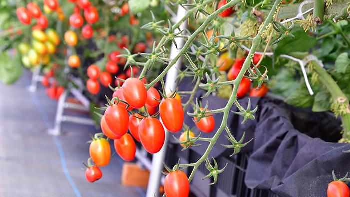 トマト わき ミニ 育て 芽 方