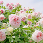葉が枯れるバラの病気!黒点病、枝枯れ病、うどんこ病の治し方と予防法